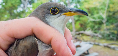 Yellow-billed Cuckoo during bird banding at Wellfleet Bay Wildlife Sanctuary