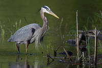 Great Blue Heron © John Yurka