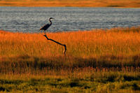 Heron perched in the marsh at sunset at Wellfleet Bay Wildlife Sanctuary © Terri Munson