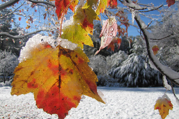 Closeup of snow on autumn foliage © Julie Gagliardo