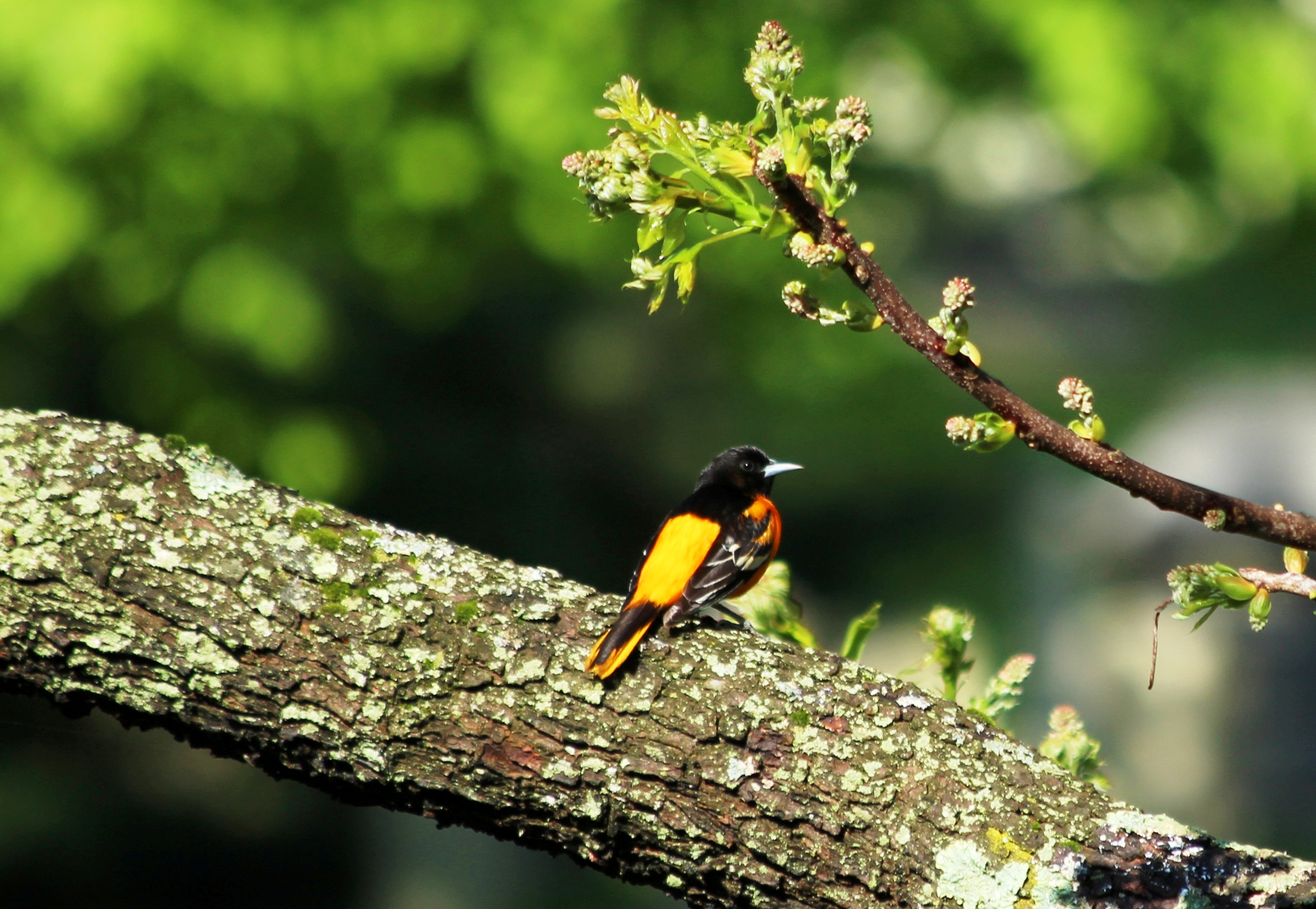Report Oriole Sightings