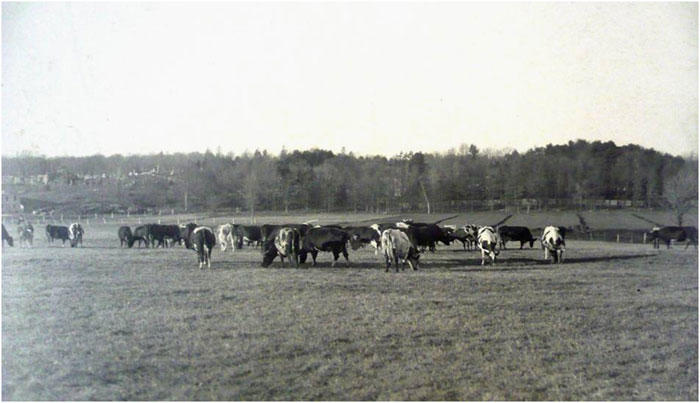 Cattle at the Pierce Farm 1896. Special Collections Department, State Library of Massachusetts.