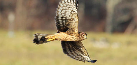 Northern Harrier © D. Wauchope