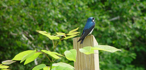 Tree swallow © Mike Hansen, Mass Audubon