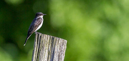 Eastern Kingbird © Phil Doyle