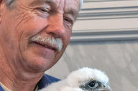 Norman Smith banding a Peregrine Falcon chick