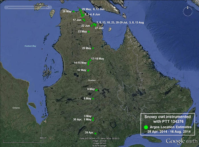 Snowy owl 134376 movements closeup from March 9-August 16, 2014