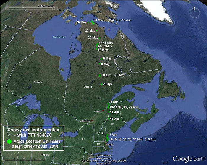 Snowy Owl 134376 March 9 - June 12, 2014 migration map