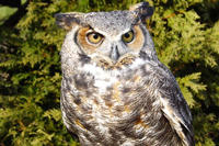 Great Horned Owl closeup