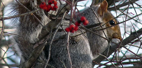 Eastern Gray Squirrel in hawthorne branches