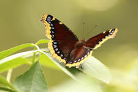 Mourning Cloak butterfly resting on a leaf (by Kristin Foresto/Mass Audubon)