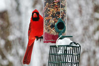 Northern Cardinal male at a feeder in winter © Charlie Zap