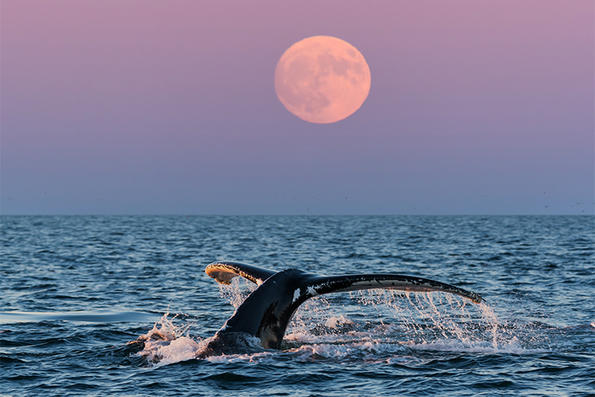 Humpback Whale fluke at Stellwagen Bank National Marine Sanctuary © Kjeld Mahoney