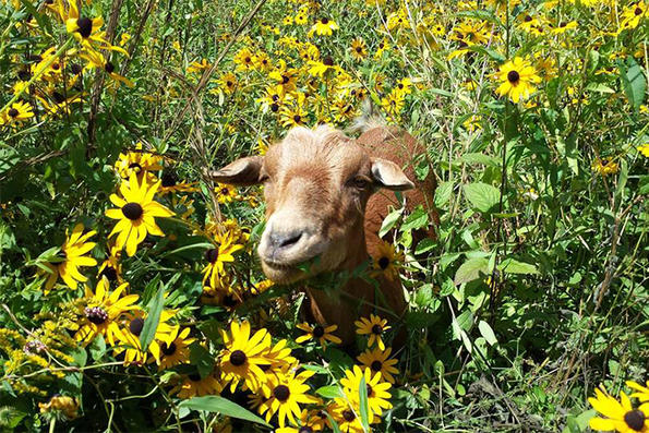 Goat in a patch of Coreopsis flowers at Habitat Education Center