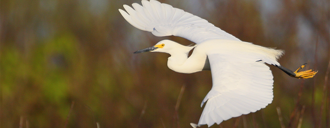 Snowy Egret at Kettle Island Wildlife Sanctuary © Craig Gibson