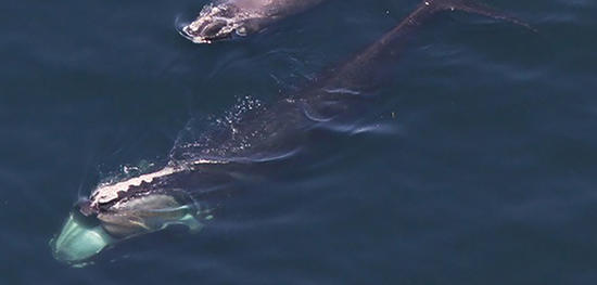 Aerial view of right whales © CCS (taken under NOAA Permit #14603-01)