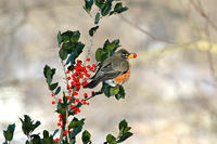 American Robin eating holly berries © Dana Spires 750