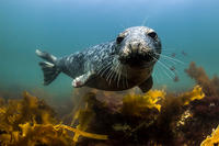 Habor Seal pup off Cape Cod © Alex Shure