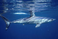 Atlantic Shortfin Mako ©  Simon Thorrold