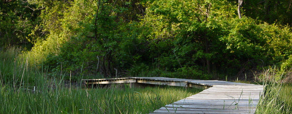 Boardwalk trail at Nahant Thicket Wildlife Sanctuary