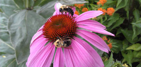 Purple cone flower with bee on it at Oak Knoll Wildlife Sanctuary