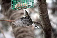 Warbler at suet feeder in winter © Susumu Kishihara