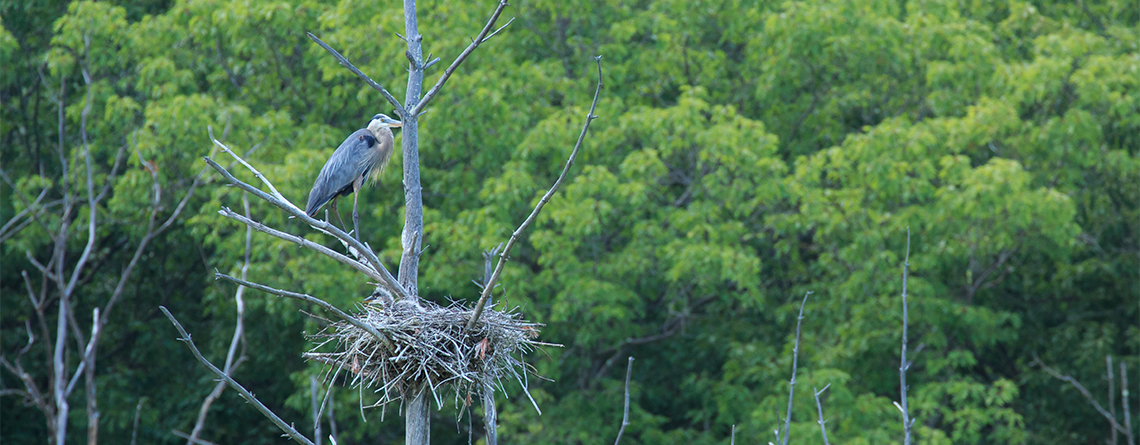 Great Blue Heron nest at Rocky Hill Wildlife Sanctuary