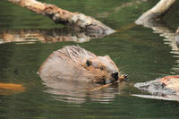 Beaver gnawing stick in a pond © Amy Vaughn