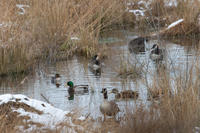 Winter ducks at Tidmarsh