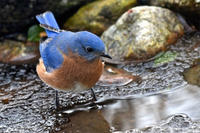 Eastern Bluebird next to a small puddle © Peter Weis