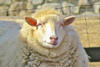 Closeup of a sheep at Wachusett Meadow © J. Mankowsky