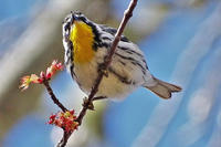 Yellow-throated Warbler at Wellfleet Bay