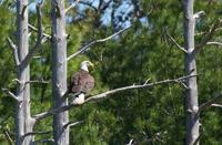 Adult Bald Eagle on Cape Cod © Heather Fone