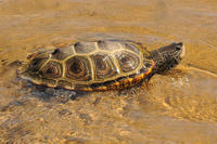 Diamondback Terrapin female swimming in the shallows © Terri Munson