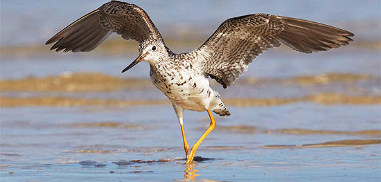 Greater Yellowlegs © Susan Wellington