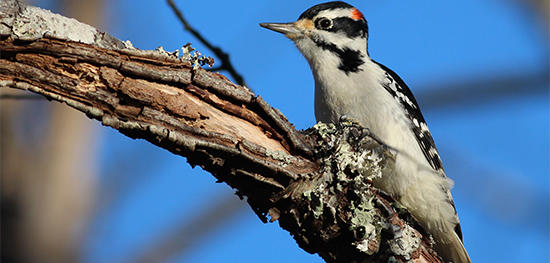 Downy Woodpecker male © Joel Wagner