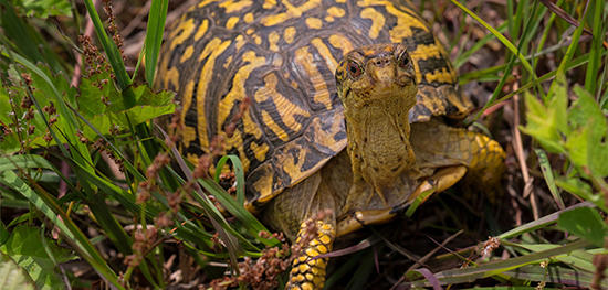 Box Turtle © Jim Duffy