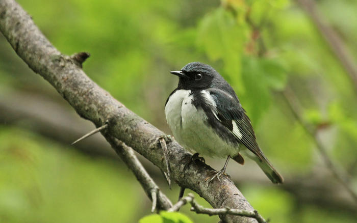 Black-throated blue warbler © Ryan Schain