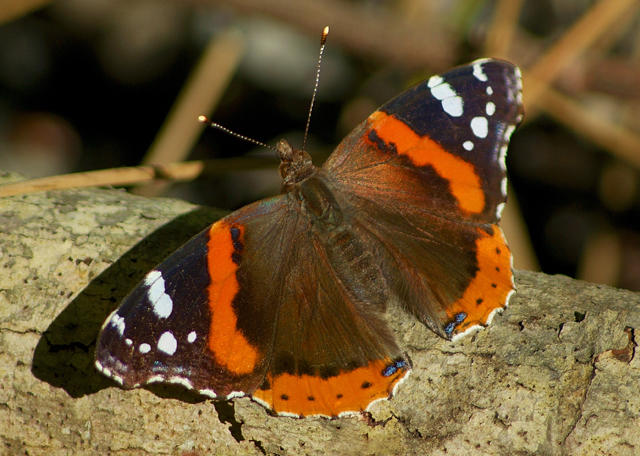 Red admiral butterfly © William Powell