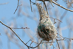 Baltimore oriole nest, © Henry McLin, flickr
