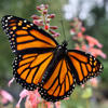 Monarch butterfly © Shirley LeMay