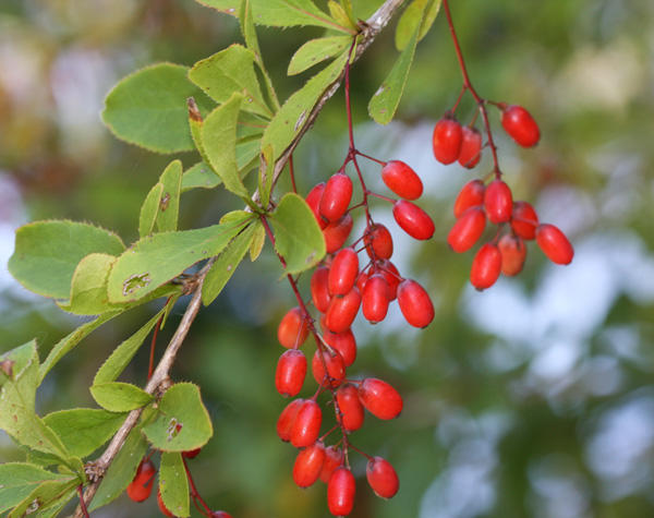 Common Barberry Ripe Fruit and Leaves
