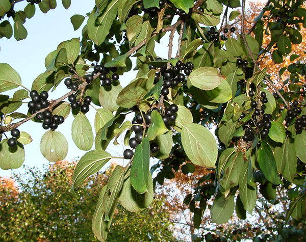 Common Buckthorn fruit and leaves