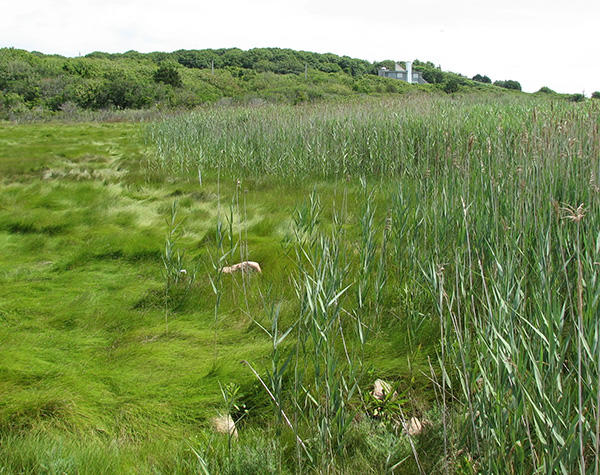 Common Reed invading a marsh