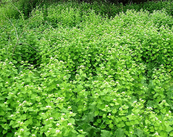 Garlic mustard invading a field