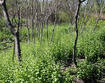 Garlic mustard invading a woodland edge