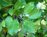 Glossy buckthorn leaves and ripe fruit