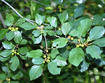 Glossy buckthorn leaves and unripe fruit