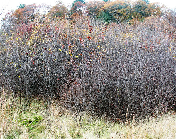Winter appearance of glossy buckthorn shrubs
