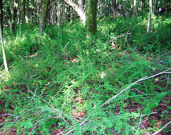 Japanese barberry invading a forested understory